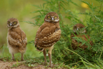 Florida burrowing owls.