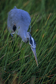 Great blue heron fishing.