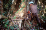 Logger cutting down a rain forest tree.