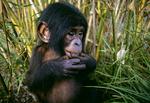 Bonobo (Pygmy chimpanzee)