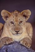 African lion cub.