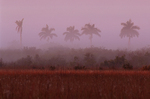 Royal palm trees in fog at sunrise.