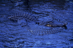American alligators, two males during mating season.