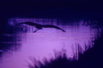 Great blue heron flying at twilight.