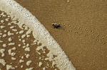 Loggerhead sea turtle hatchling and Atlantic Ocean.