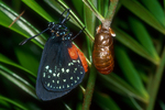 Atala butterfly drying its wings after emerging from a chrysalis