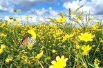 Monarch butterfly in bur marigold.