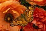 Varigated fritillary butterfly