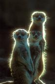 Slender-tailed meerkats
