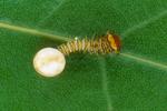 Polyphemus moth caterpillar exiting egg case.
