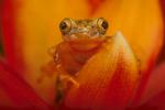Forest banana frog.