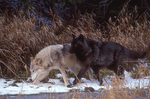 Alaska tundra wolves