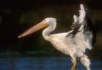 American white pelican. 1st frame of a two frame sequence.