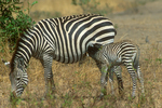 Selou's zebra with foal