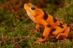 Panamainian golden frog