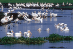 American white pelicans during drought along the La Chua Trail.