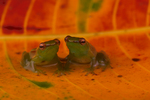 Pygmy hatchet-faced tree frogs