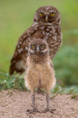 Burrowing owl chick with mother.