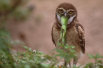 Burrowing owl with common iguana.