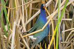 Purple gallinule in sawgrass