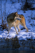 Alaska tundra wolf in winter