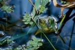 North American bullfrog in giant duckweed.