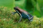 Ecuadorian poison frog