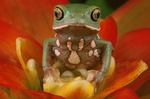 Painted-bellied monkey frog