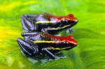 Pleasing poison frogs