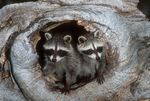 Northern racoons