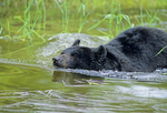 American black bear swimming.