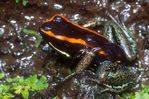 Dyeing poison frog w/ tadpoles on back.