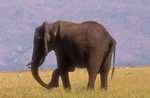 African elephant with flaccid trunk paralysis. (Sequence 3 of 4)