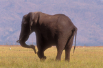 African elephant with flaccid trunk paralysis. (Sequence 4 of 4)