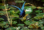 Purple gallinule running on lily pads.