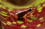 Phantasmal poison frog