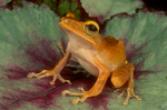 Asian golden treefrog