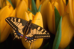 Old World swallowtail on tulips.