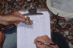 Recording data from a captured Schaus swallowtail butterfly.