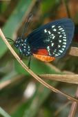 Atala butterfly