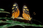Passion vine butterflies mating.