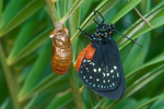 Atala butterfly after emerging from chrysalis.