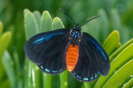 Atala butterfly on coontie.