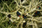 Atala butterflies necturing on bloom of a cabbage palm.