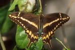 Schaus swallowtail butterfly