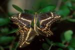 Schaus swallowtail butterflies mating.
