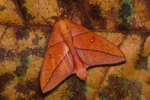 Leaf-mimic moth