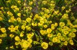 Trumpet pitcher plants