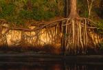 Slash pine tree roots.