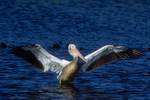White pelican takeoff sequence, one of six.